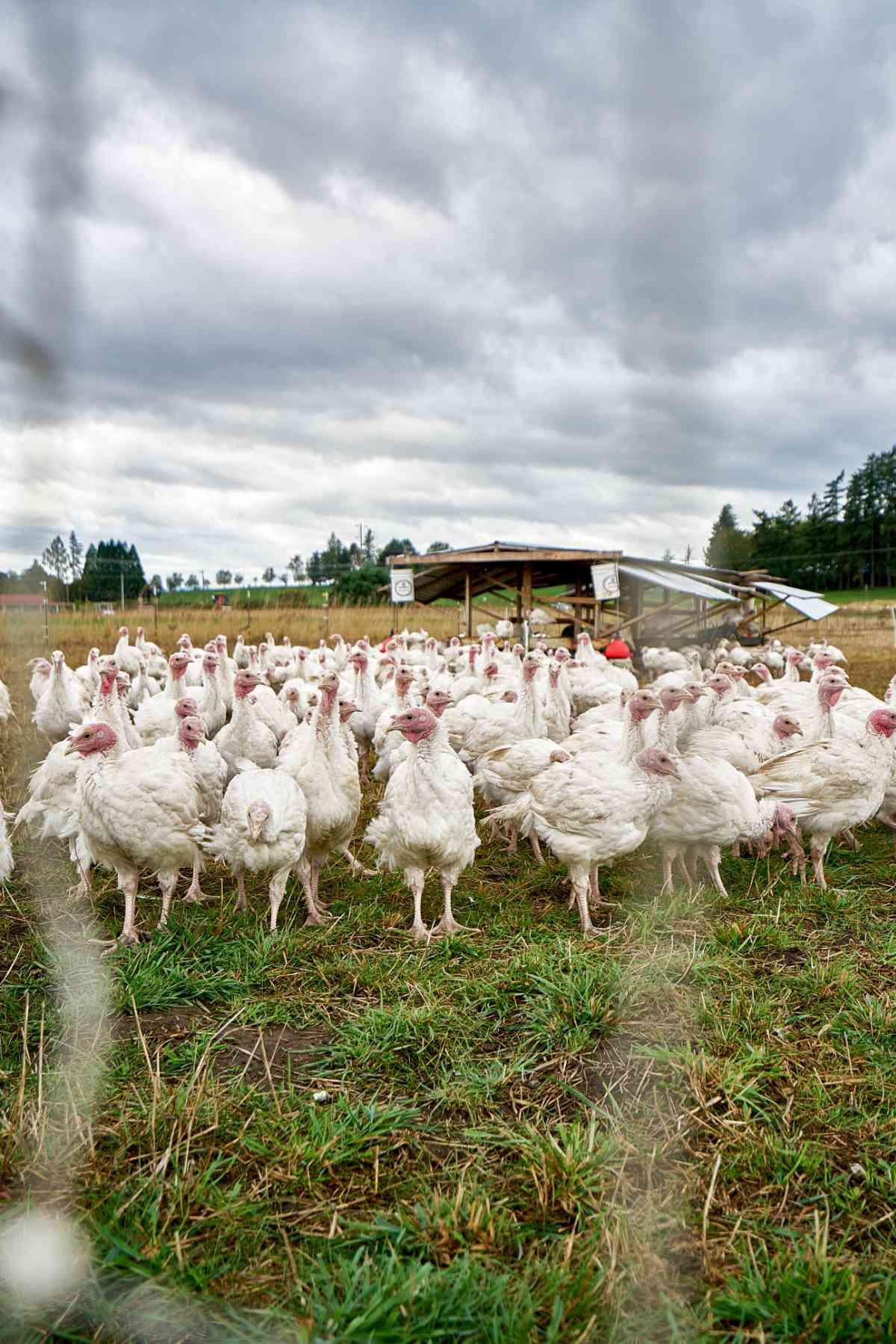 turkeys in a field.